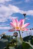 아름다운 연꽃 (hoyaphoto) Tags: 연꽃 lotus pond water green