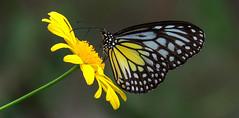 Parantica aspasia (Yellow Glassy Tiger) (MY-C009) (Butterflies in Still Air) Tags:  my parantica aspasia yellowglassytiger glassytiger malaysia butterfly lcynsp lcyspmy lcy2016