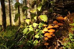 Honey Fungus (Derbyshire Harrier) Tags: toadstools fungi troop summer finland naturetrek borealforest aspin silverbirch tiagaforest woodland 2016 honeyfungus