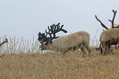 Caribou, St Paul Island, Aleutians West, Alaska (Terathopius) Tags: alaska stpaulisland aleutianswestcounty usa caribou rangifertarandus reindeer