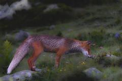 Appreciating nature (George Pancescu) Tags: nikon d810 70200mm fox animal wild wildlife nature natural outdoor retezat mountain romania europe outstandingromanianphotographers