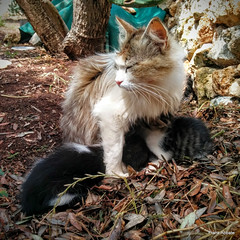Feeding the kittens (Frank Abbate) Tags: cat cats kitten kittens gatti gattini gatto gatta mother country love nexus5 mamma