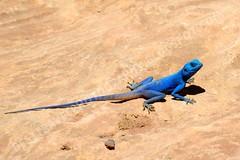 Lagarto azul en Petra (Travel around Spain) Tags: petra jordania lagarto azul