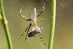 Dinner is served (aleadam) Tags: injured spider web bee dinner nature food foodchain aleadam alejandroadam 7dwf