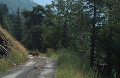 oh une biche... (bulbocode909) Tags: valais suisse biches nature forts chemins montagnes vert