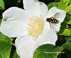 Flower Fly on a Wild Rose (Amberinsea Photography) Tags: flower rose wildrose bee flowerfly nature petals pistils tylsand halmstad sweden amberinseaphotography