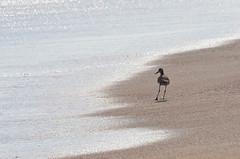 Martn Pescador (monchor1) Tags: pescador ave mas playa arena agua pescando sol fisherman water fishing au platja sorra aigua pescant pche en eau acapulco guerrero mexico revolcadero barra vieja moncho ramn monchor1