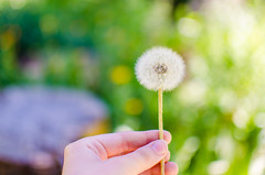 Goodbye Summer (UniquelyHis4ever) Tags: summer flower dandelion wish makeawish macro photography hike outdoors