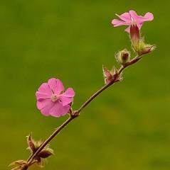 Dagkoekoeksbloem - Red cactchfly - Silene dioica (from Yves) Tags: wildflowers ngc