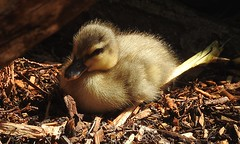 One fluffy little duckling (blue33hibiscus) Tags: cute duckling fluffy bird duck waterbird waterfowl avian