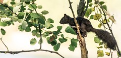 concentration (hardy-gjK) Tags: squirrel nature mammals wildlife black white eichhrnchen schwarz noir blanc animals tiere sugetiere cureuil animaux nikon 300