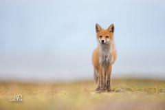 Renard roux - Vulpes vulpes - [EXPLORE] (Christophe.R.) Tags: 11000 400iso 500mm ekkeroy norge peninsuleduvarenger renardroux renardrouxvulpesvulpes f40 renard