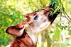 Okapi of Yokohama Zoological Gardens : オカピ(よこはま動物園ズーラシア) (Dakiny) Tags: 2016 spring april japan kanagawa yokohama asahiward outdoor nature park zoo zoorasia yokohamazoologicalgardens creature animal mammal herbivore okapi red nikon d7000 tamron 70300mm sp70300mmf456divcusd a005 modela005 nikonclubit