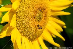 Bee in a Sunflower in Riamede Farm (Venish Joe) Tags: venish venishjoe nj newjersey chester farm riamedefarm sunflower bee