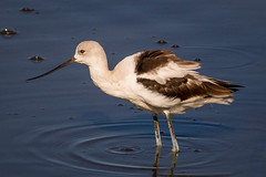 American Avocet (tresed47) Tags: 20150907bombayhookmisc 2016 201609sep avocet birds bombayhook canon7d content delaware folder peterscamera petersphotos places takenby us waders ngc npc
