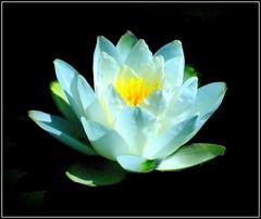 Natural Beauty (dimaruss34) Tags: newyork brooklyn dmitriyfomenko image flower