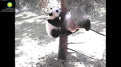 2016_09-06k (gkoo19681) Tags: beibei meixiang playtime treetime sohappy confused climbing dangling stillgotit youngatheart silliness ccncby nationalzoo