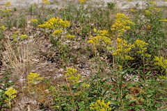Yellow Blooms (robincagey) Tags: provincetown cape cod massachusetts new england nature trees woods trail province lands nps wildlife