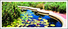 Water Lilies 7 (billackerman1) Tags: waterlilies californiamissions sanjuancapistrano
