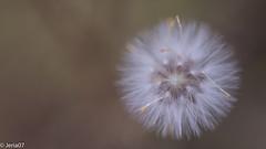 Blow me (FabianJeria) Tags: macro sigma macrofotografia macrodreams blow little plant plants planta soplame
