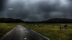 A travers nuages... et vaches ! (Tra Te E Me (TTEM)) Tags: lumixfz1000 photoshop cameraraw franchecomt jura routedeslacs vaches cows paysage landscape nuages clouds champs prs route road nature pluie rain brume mist