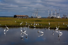 Herons and Egrets from the Cape May bridge (artseejodee) Tags: coastal wetland meadows flying animals twomilelanding fishingboats fishing grass flock sunny grassy midatlantic nature migration newjersey fall sound capemaycounty wildlife twomile gulls white migrate capemaybridge biology birds migratorybirds jerseyshore saltmarshes herons capemay blue wetlands southjersey feather nj northeast autumn shorebirds green saltwater september marsh wildwoodcrest lunchdate greatblueheron snowyegret greategret