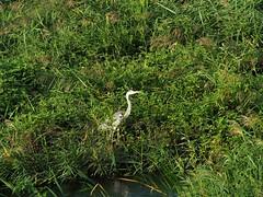 Grey heron () (Greg Peterson in Japan) Tags: rivers egretsandherons japan yasu oyamakawa shiga wildlife birds shigaprefecture jpn
