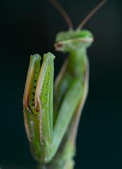 Mantis religiosa 3 (Jeaunse23) Tags: mantis preyingmantis mantisreligiosa macro insects france