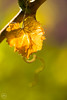 Weinblatt (Dirk Hoffmann Fotografie) Tags: wein blatt weinblatt herbst welk nature wine weinrebe trauen traube rebstock macro green sun sunlight light
