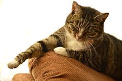 """It`s Raining Again!"" (Eleanor (No multiple invites please)) Tags: home cat fur whiskers billie"