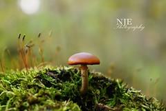 shroom (NJEphotography) Tags: autumn ohio macro green fall mushroom lens moss october sony hd shroom alpha dslr vivitar 2012 nex 70210mm nex5 nex5n sonyalphanex5n vivitar70210mmmacrofocusingzoomlens