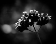 Backlit (Explored) (montreal_bunny) Tags: blackandwhite flower macro nature october explore contrejour 2012 odc explored efs60mmf28macrousm cmwdblackwhite topazadjust ourdailychallenge canonrebelt3i