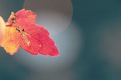 Baby Maple Leaf (Jamie-Owens) Tags: