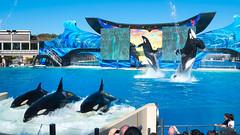 Orcas at Sea World, San Diego (lolilujah) Tags: ocean show california ca swimming one aquarium jumping stadium sd soak ike splash captive seaworld shamu orkid zone captivity shouka splashing kalia blackfish ulises ikaika