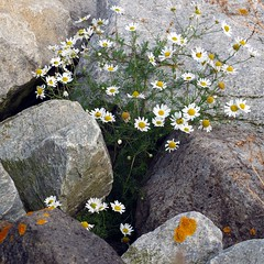 Mayweed (tina negus) Tags: macro coast rocks yorkshire runswickbay mayweed