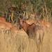 Tsessebe and impala