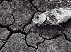 Drought (timnic35) Tags: fish scale dead skeleton photography tim mud decay dry drought cracked nichols framedprints fineartprints canvasprints metalprints timnichols acrylicprints timnicholsphotography