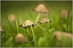 20120927. Fungi. 5266. 1. (Tiina Gill (busy)) Tags: autumn fall nature mushroom estonia fungi sailsevenseas