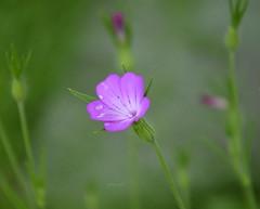 Memory of summer. Explore # 16 (Bessula) Tags: flower nature garden raindrops bessula 100commentgroup bestcapturesaoi rememberthatmomentlevel1 rememberthatmomentlevel2 flowerthequietbeauty