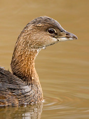 North Chagrin Pied-billed Grebe Portrait (Jeff Dyck) Tags: ohio birds cleveland grebe reservation piedbilled piedbilledgrebe podilymbuspodiceps jeffdyck supershot avianexcellence northcagrin