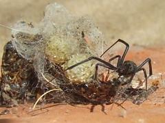 Theridiidae>Latrodectus geometricus? Brown Widow spider? DSCF1535 (Bill & Mark Bell) Tags: exmouth westernaustralia australia geo:town=exmouth geo:state=westernaustralia geo:country=australia geo:lon=11425453egeolat2217752sgeoalt8m 11425453e2217752salt8m taxonomy:kingdom=animalia animalia taxonomy:phylum=arthropoda arthropoda taxonomy:class=arachnida arachnida taxonomy:order=araneae araneae taxonomy:family=theridiidae theridiidae taxonomy:genus=latrodectus latrodectus geometricus taxonomybinomialnamelatrodectusgeometricus latrodectusgeometricus taxonomycommonnamebrownwidowspider brownwidowspider spider