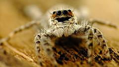 Araña saltarina en tronco (iohandesign) Tags: patagonia macro spider ojos fujifilm araña cipolletti izaguirre macrofotografia salticidae saltarina aracnidos saltadora arañasaltadora arañasaltarina fujis200exr iohandesign sebastianizaguirre