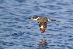 Belted Kingfisher (Bill7870) Tags: bird nature canon geotagged nj kingfisher 7d nwr beltedkingfisher canon600mmf4 canon7d edwinforsythenwr