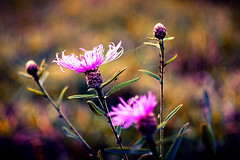 Small Thistle in the Dawn (_flowtation) Tags: flowers autumn sunset flower macro fall colors grass 35mm dawn nikon purple bokeh thistle details herbst spiderweb gras blume makro spinnennetz distel nikon35mm 35mmf18 d7000 nikond7000