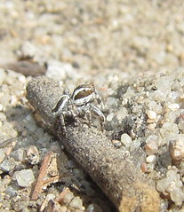 Habronattus jumper male (Bug Eric) Tags: usa male nature animals outdoors colorado spiders wildlife coloradosprings northamerica rockymountains arachnids araneae jumpingspiders salticidae habronattus arachtober april212012