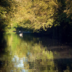 early morning swim (jjamv) Tags: uk bridge autumn trees england sky mountain reflection tree london nature water field alberi forest woodland river landscape boat canal swan lock path natura swans sentiero barge narrowboat hertfordshire canalboat bosco herts apsley sentieri thegalaxy 100commentgroup jjamv julesvtravel creativephotocafe
