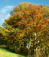 Beech on fire (-- Green Light Images --) Tags: scotland beech eastlothian humbie fagussylvatica fagaceae rawker fagales hotpixuk dsc9981editedra