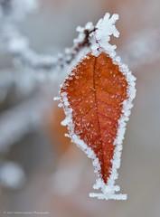 Leaf Wrapped in Ice Crystals (Witty nickname) Tags: cold macro tree calgary ice nature frozen leaf dof bokeh hoarfrost depthoffield alberta freeze fullframe fx icecrystals d800 105mm southernalberta frozenleaf nikkor105mmf28vr bokehlicious nikond800 yourockwinner herowinner