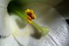 Gineceo - Androceo (Kazu_za) Tags: brazil flower brasil canon sãopaulo flor kazu pólen gineceo pétala androceo kazuza