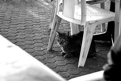 Chat! |006/365| (Scarlet.Mind) Tags: bw animal bar cat kitten chat outdoor liguria bn tavolino gatto animale sediadiplastica composizioneorizzontale immaginebiancoenero